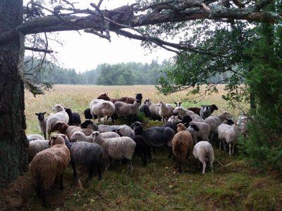 Niittylihasta tehtiin Ruotsissa brändi – Suomessakin suurin osa lampaista laiduntaa luonnonniityillä