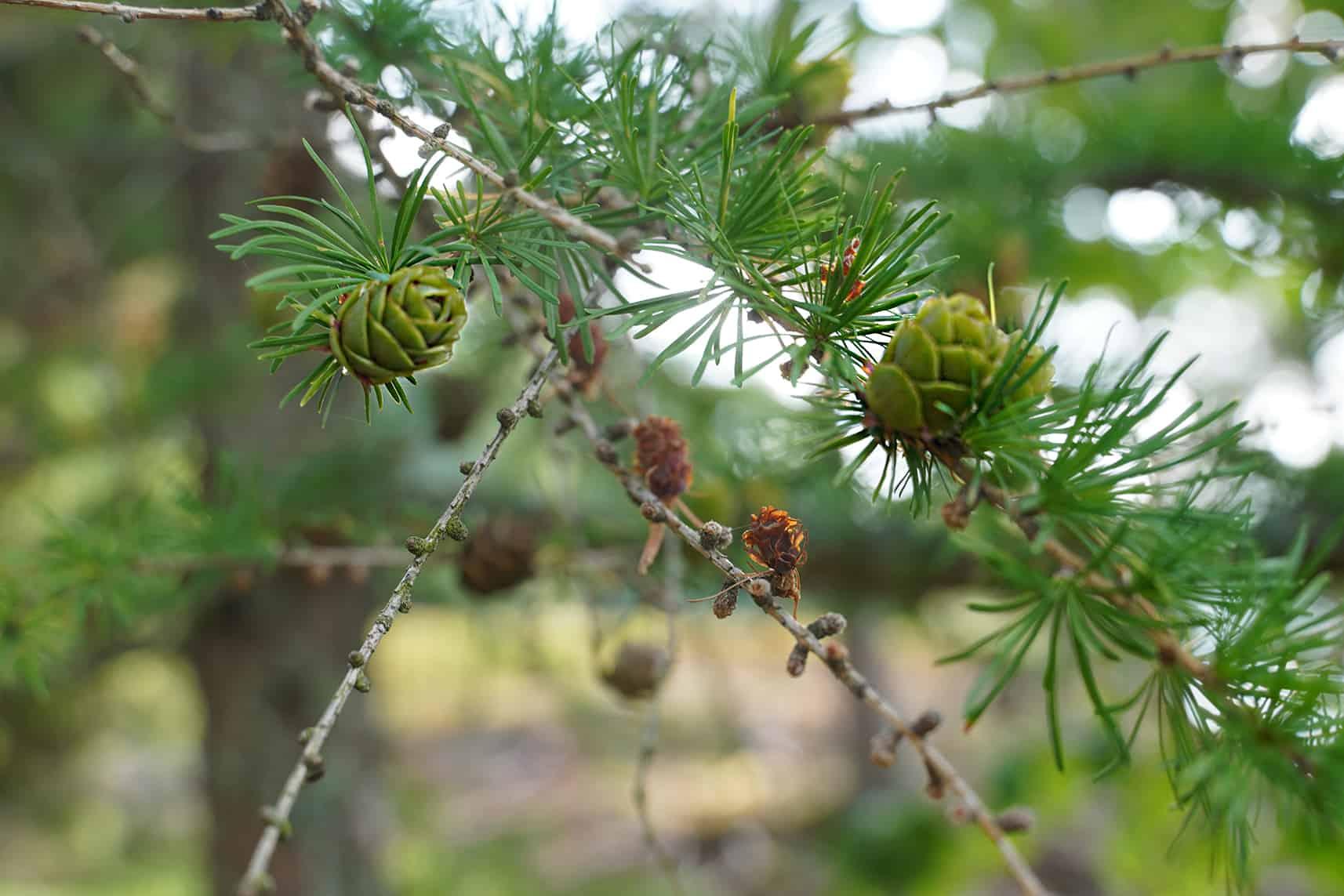 Lehtikuusen oksa, jossa on sekä tuoreita vihreitä käpyjä että vanhoja ruskeita käpyjä.