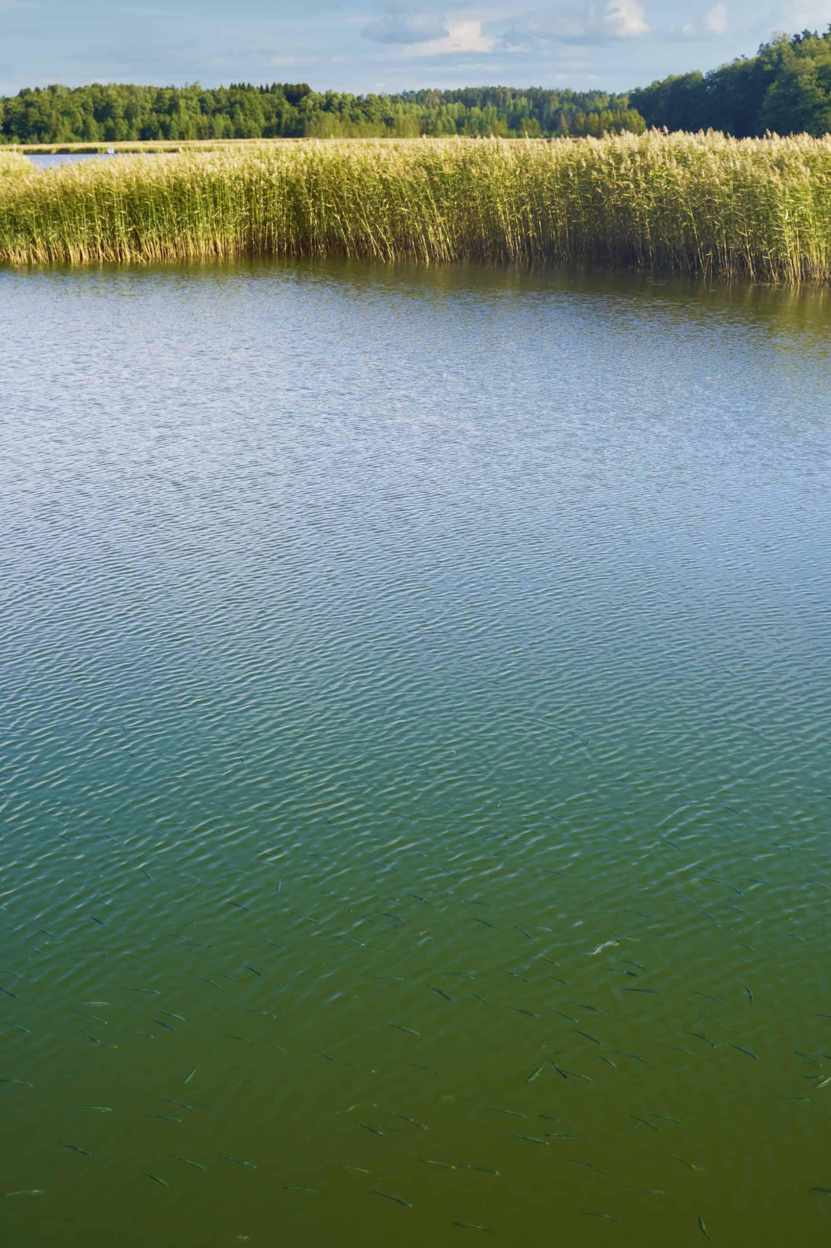 Kuvan yläreunassa näkyy ruovikkoa ja alareunassa veden pinnan alla uivia kaloja.