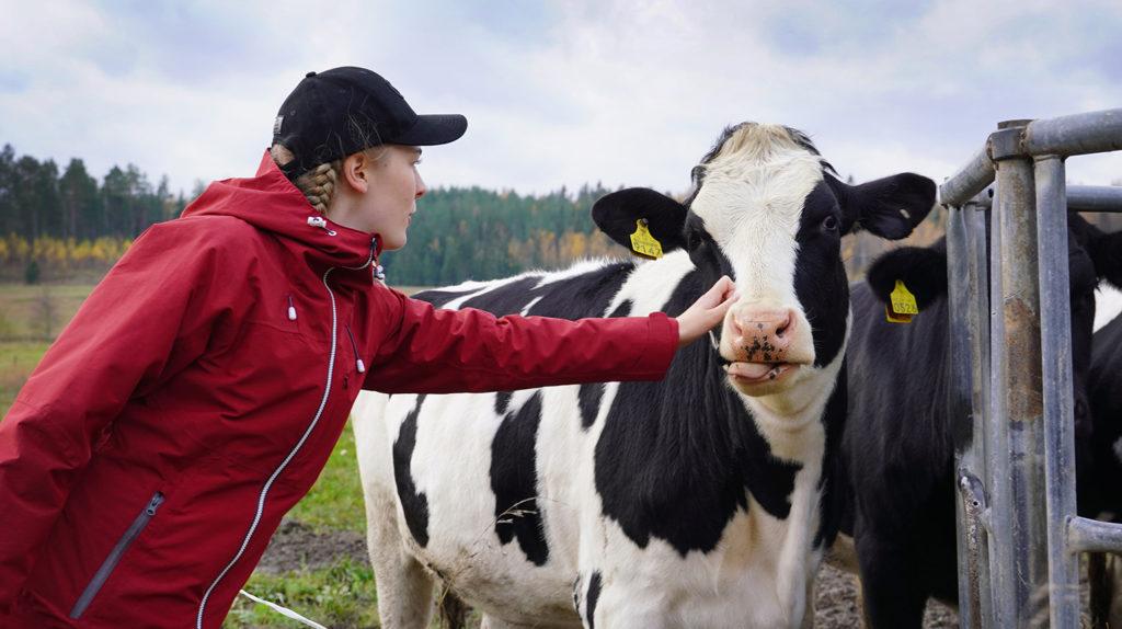 Maija rapsuttaa lehmää.