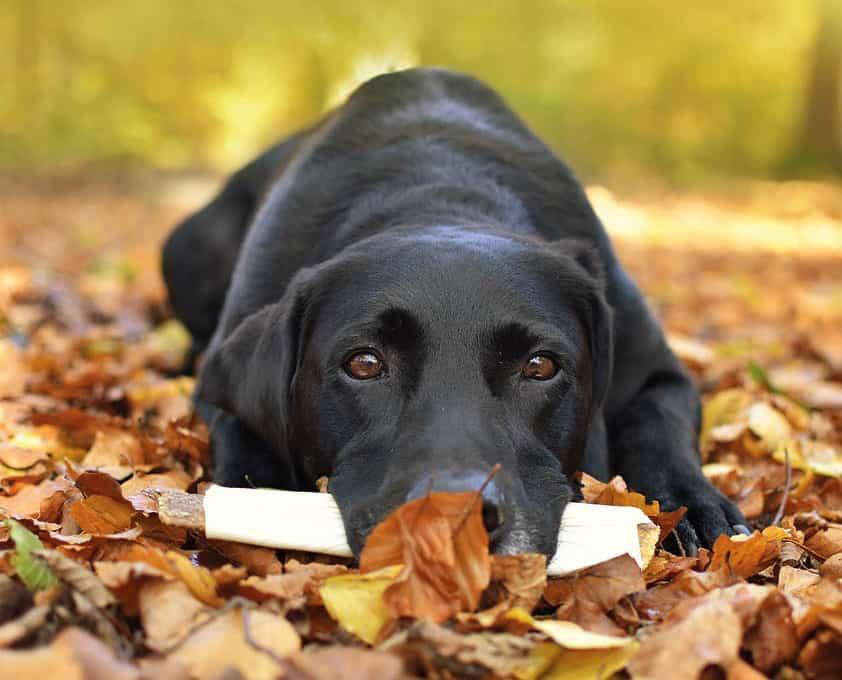 Koira syö puruluuta.