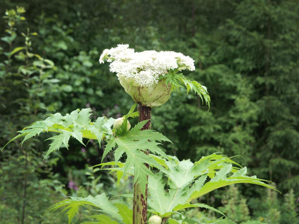 Jättiputken valkoinen kukinto.