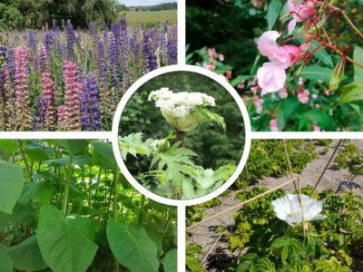 Viisi vieraskasvia: lupiini, palsami, tatar, kurtturuusu ja jättiputki.